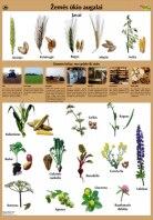 Žemės ūkio augalai. Plakatas